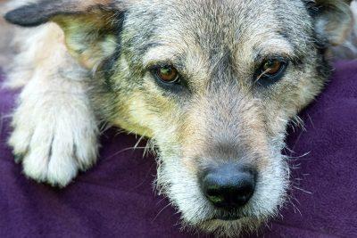 Hundeporträt, Hund liegend, blickt in die Kamera, Tierfotografie, Hundefotografie, Schmelz Fotodesign, Würzburg