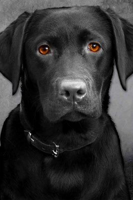 Schwarzer Labrador, sitzend mit Blick in die Kamera, Tierporträts, Schmelz Fotodesign