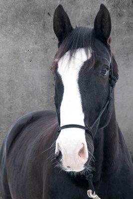 Schwarzes Pferd mit weißen Nüstern, stehend, Tierporträts, Schmelz Fotodesign