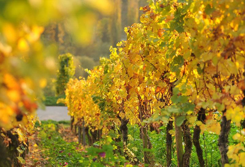 Weinfotografie, Im Weinberg, Rebzeilen im Herbst, Reben, Rebstöcke, Schmelz Fotodesign, Werbefotografie