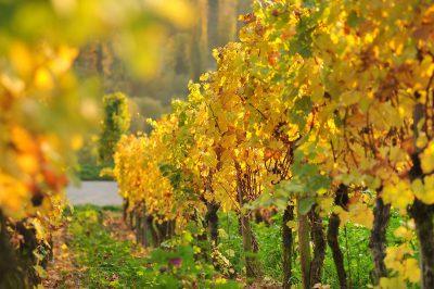 Schmelz Fotodesign, Zeile im Weinberg, Herbst, Landschaftsfotografie, Weinfotografie