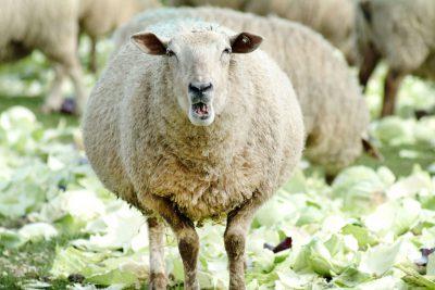 Schmelz Fotodesign, Schaf auf der Weide, Nahaufnahme, Tierfotografie