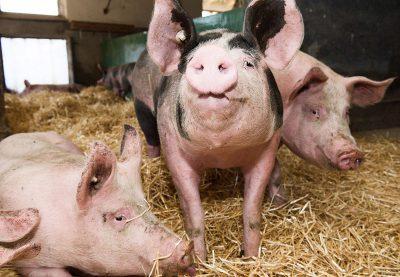 Schmelz Fotodesign, Schwein im Stall, Tierfotografie